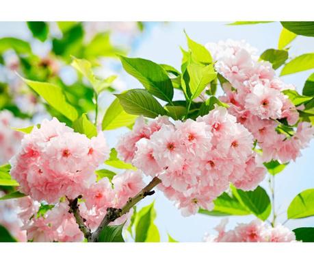 Тапет Sakura Blossom 254x366 см